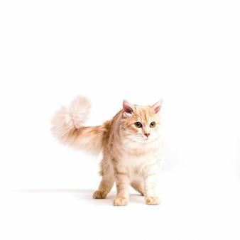 白い背景の上に隔離された警告tabby猫