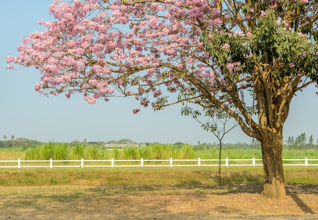 Tabebuia or pink trumpet blossom tree in green farm