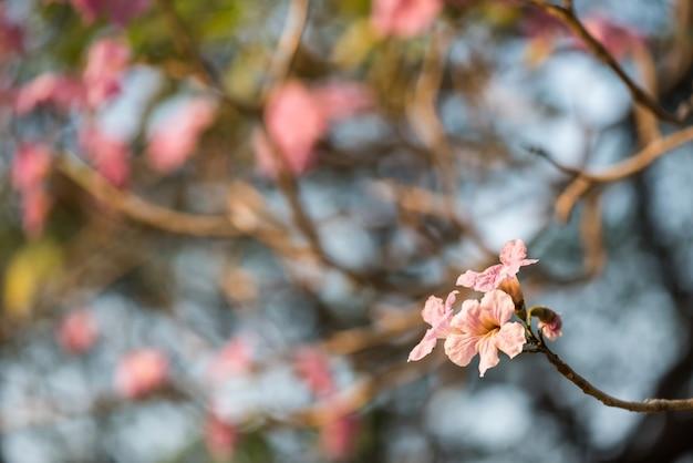 핑크 포이 테코마와 장미빛 트럼펫 나무로 알려진 타베부이아 로제아 꽃.