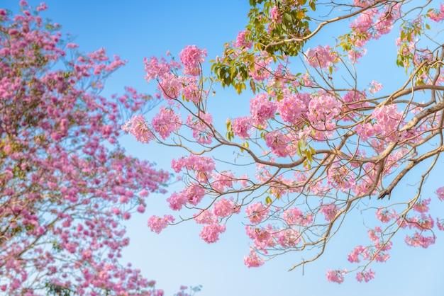 Tabebuia roseaはピンクの花の新熱帯区の木と青い空です。