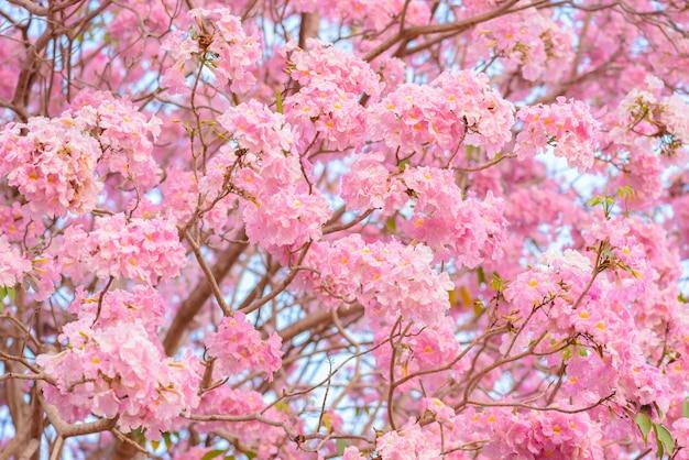 Tabebuia roseaはピンクの花新熱帯区の木の背景です。