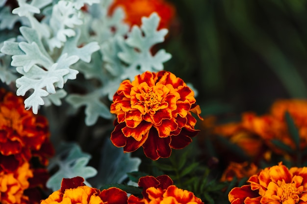 Tagetes against a scene of cineraria.