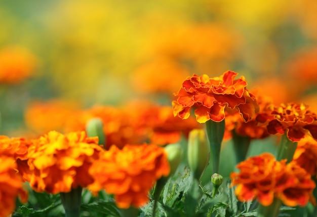 マンジュギクの花
