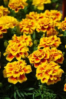 Tagetes patula, французские календулы в цвету, оранжево-желтые цветы, зеленые листья, небольшое горшечное растение