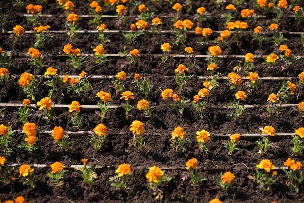Осенние оранжевые цветы на земле tagetis цветут в ряд.