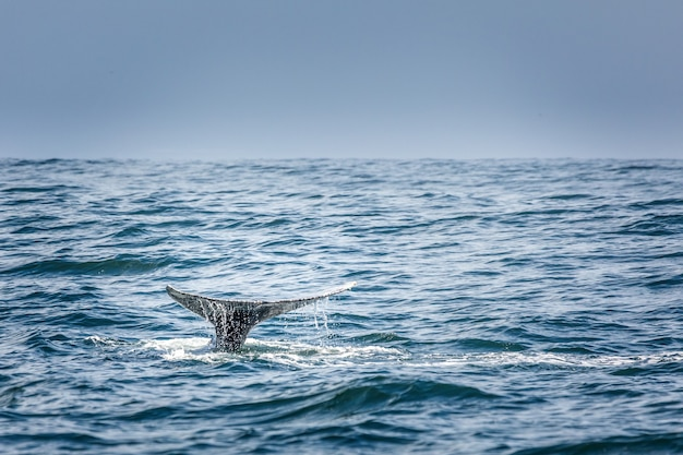 Tail fin of a diving grey whale in the pacific ocean