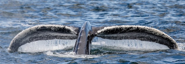 물 표면 근접 촬영 위에 꼬리 향유 고래. 채텀 해협 지역. 알래스카. 미국.