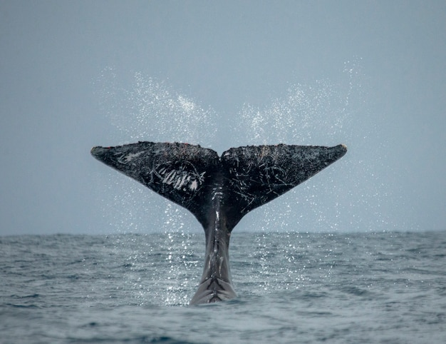 The tail of the humpback whale. madagascar. st. mary's island