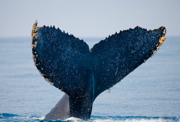 The tail of the humpback whale. madagascar. st. mary's island.