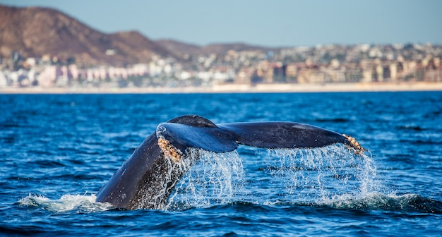 Tail of the humpback whale in the ocean
