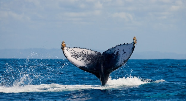 Tail of the humpback whale