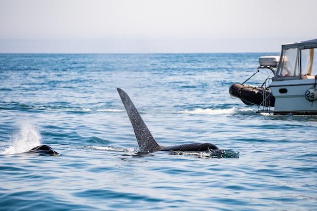 ブリティッシュコロンビア州バンクーバー島トフィーノ近くの帆船の前でザトウクジラの尾