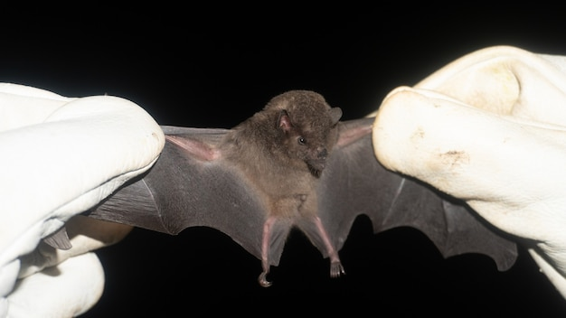 Tailed tailless bat (anoura caudifer)  is a species of leaf-nosed bat from south america