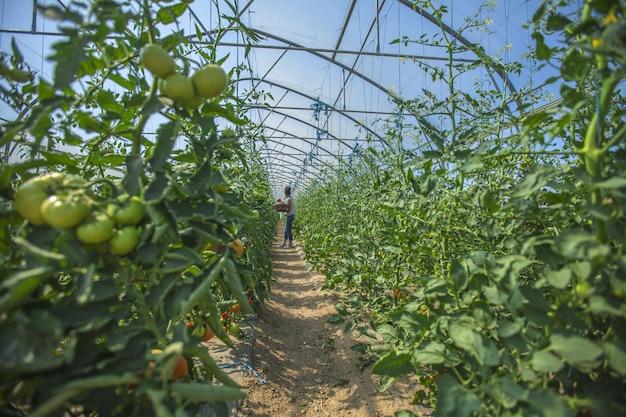 大きな温室で野菜の世話をする