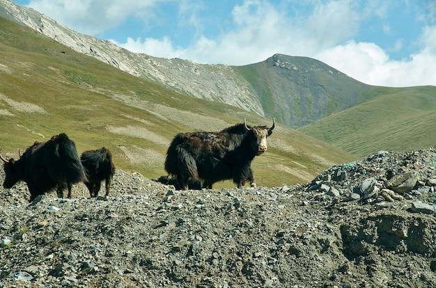 Taldyk pass, 3615 m, pamir highway, kyrgyzstan, yaks graze