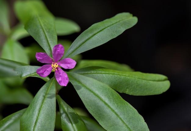 Talinum paniculatum flower on nature background.