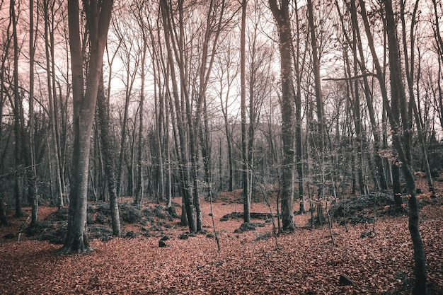 Tall bare trees in a forest in autumn under the sunlight - great for spooky concepts