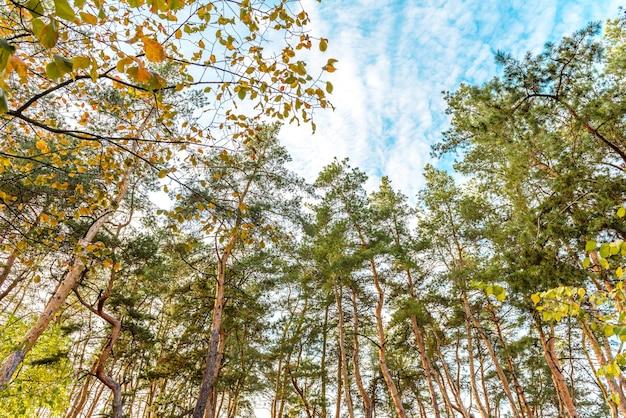 真っ青な空を背景に、秋の森に咲く背の高い美しい松の幹。秋の時間