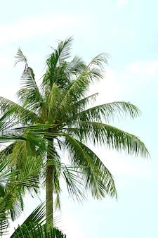 Tall coconut palm tree against blue sky