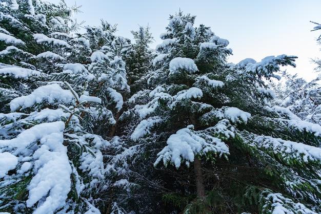 Высокие густые старые ели растут на заснеженном склоне в горах в пасмурный зимний туманный день. представление о красоте зимнего леса и заповедных территорий