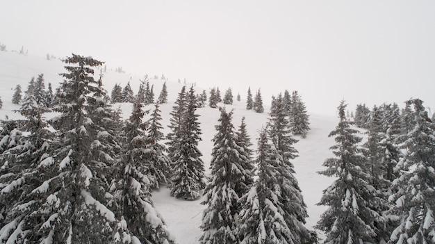 키가 크고 조밀 한 오래된 가문비 나무는 흐린 겨울 안개가 자욱한 날에 산의 눈 덮인 경사면에서 자랍니다.