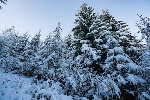 Высокие густые старые ели растут на заснеженном склоне в горах в пасмурный зимний туманный день.