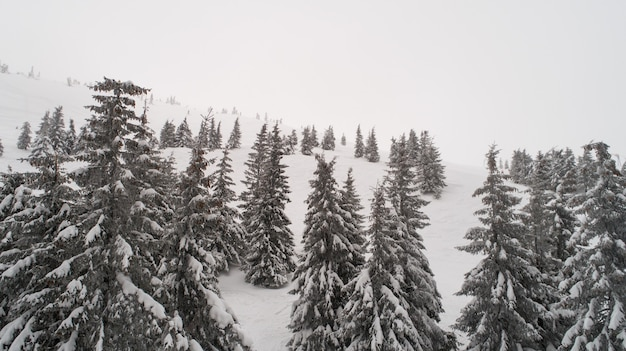 Tall dense old spruce trees grow on a snowy slope in the mountains on a cloudy winter foggy day