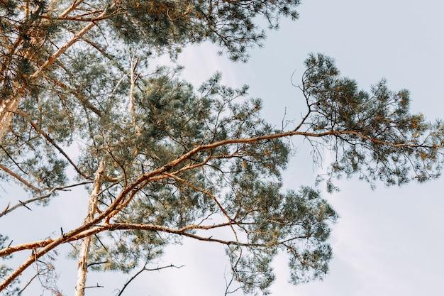 키 큰 상록수 소나무가 푸른 하늘을 배경으로 서 있습니다. 아래에서 보는 풍경. 프리미엄 사진