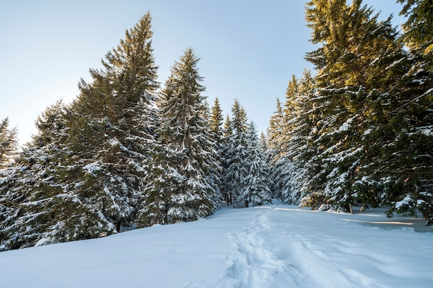 Tall fir- trees covered with thick snow under blue sky on sunny cold day.
