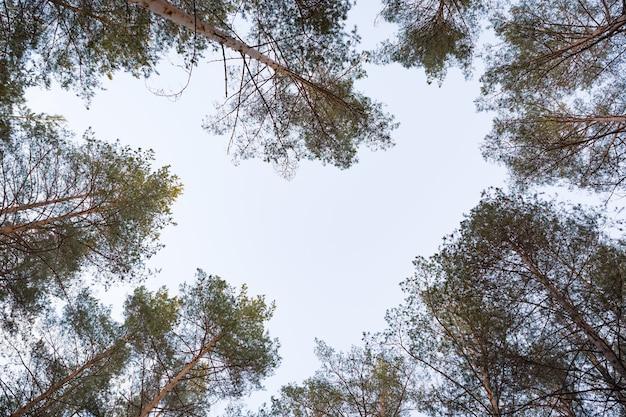키가 큰 전나무는 심장 모양을 그리는 숲에서 하늘로 돌진합니다.