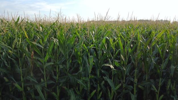 키 큰 녹색 옥수수는 농업 분야에서 익습니다.