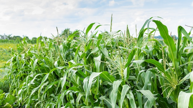 Tall green leaves of young corn in the garden, corn ripening in summer