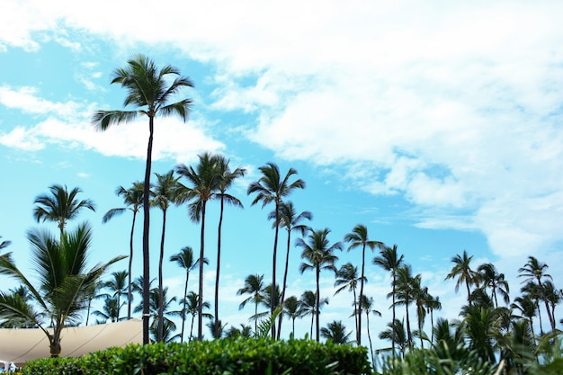 Tall green palms rise to blue summer sky