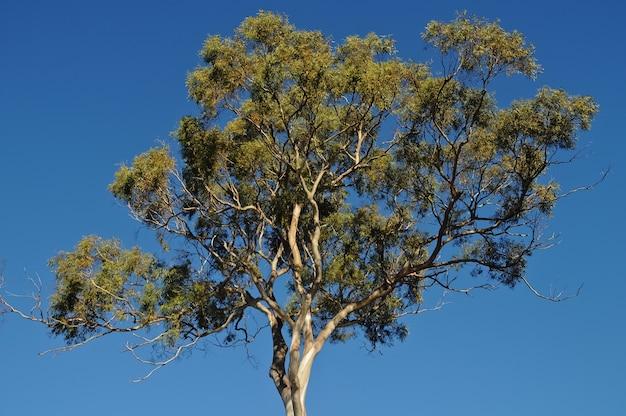 Tall gum tree in tasmania australia in summer