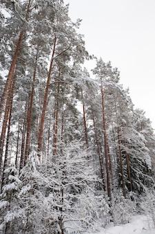 Высокие старые сосны, растущие в лесу в зимний сезон. деревья покрыты белым снегом. белое небо на заднем плане