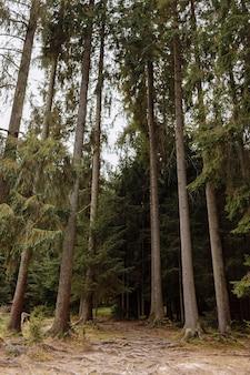 秋の松林の背の高い古い木