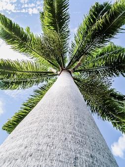 Высокая пальма против голубого неба. карибское побережье. тропическая растительность. отдых на острове.
