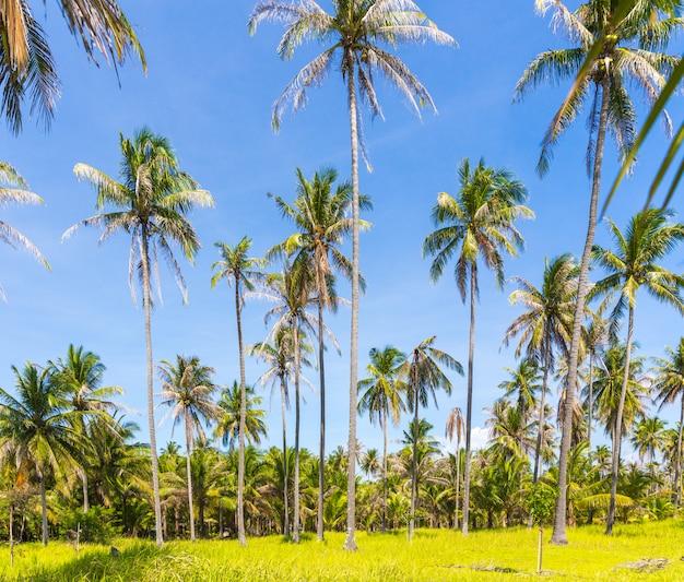 Tall palm trees on a wild thailand island
