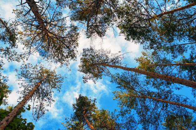 Tall pine trees on a background of clouds in the forest