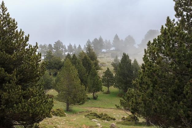 霧の少ない背の高い松林
