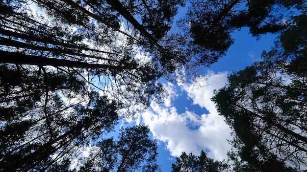 背の高い松は、雲と青い空を背景に松の空に伸びています
