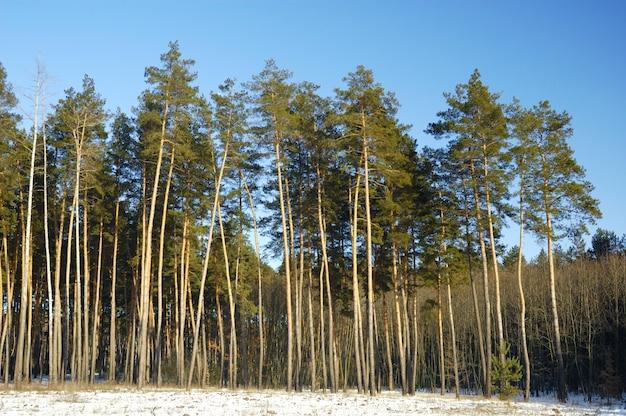 背の高い滑らかな雪に覆われた松が森の端に立っています