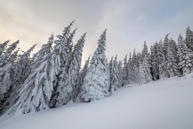 冬の森と曇り空で雪に覆われた背の高いトウヒの木。