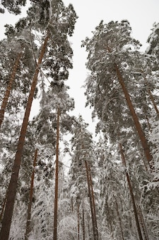 冬の雪に覆われた森で魔法の背の高いトウヒ