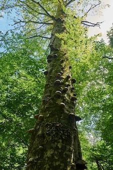 森の中の背の高い木。底面図。ソチロシア