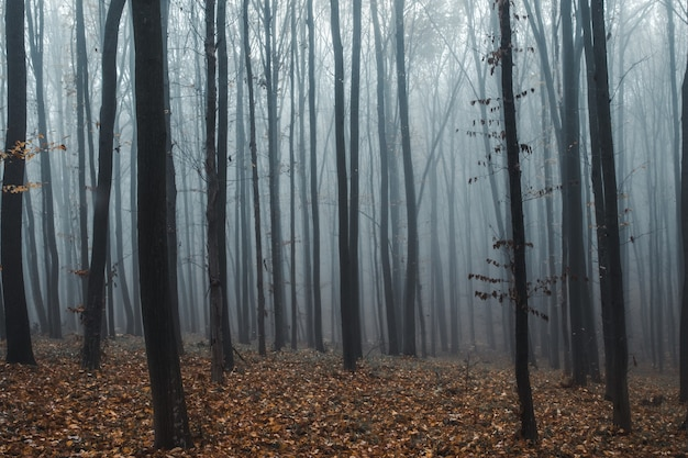 Tall trees in fog in forest