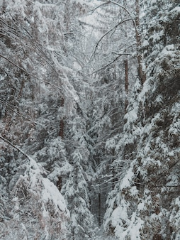 Tall trees of the forest covered with a thick layer of snow in winter