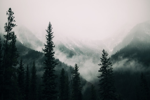 Tall trees in the forest in the mountains covered with the fog