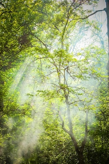 枝のある背の高い木と、冠の緑の葉を通して輝く太陽光線のある緑の葉、フィルター