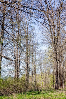 Tall trees with open leaves on early grass on a sunny spring day. vertical.